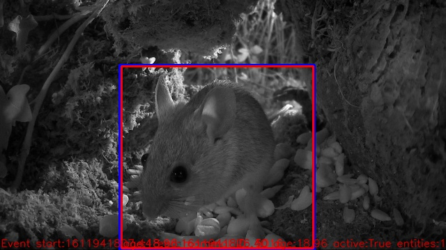 A mouse makes an appearance in a hedgerow during the night on one of the Winterwatch cameras.
