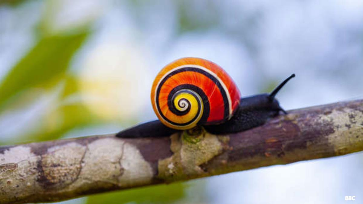 """Cuban painted snail in """"Life in Color with David Attenborough."""" Cr: BBC/Netflix"""