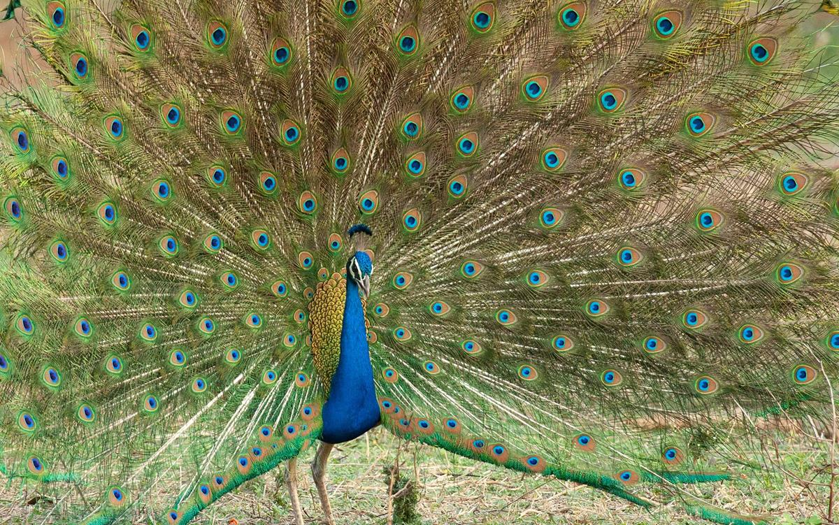 """Peacock in """"Life in Color with David Attenborough."""" Cr: BBC/Netflix"""