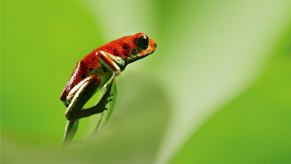 """Strawberry poison dart frog in """"Life in Color."""" Cr: BBC/Netflix"""