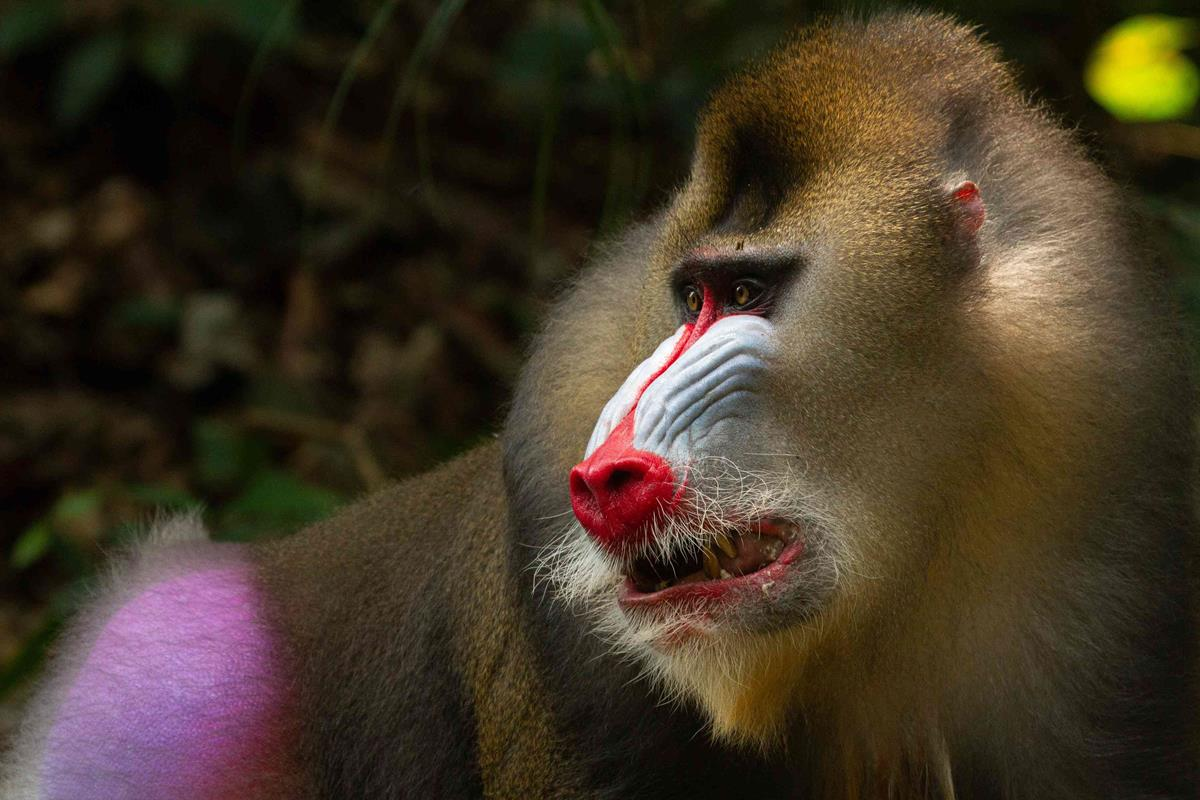 """Mandrill baboon in Gabon in """"Life in Color with David Attenborough."""" Cr: BBC/Netflix"""