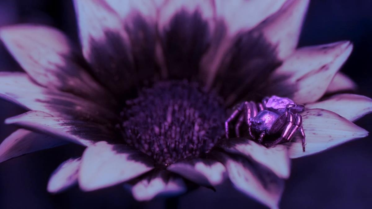 """A crab spider reflects UV light in order to attract bees in """"Life in Color with David Attenborough."""" Cr: BBC/Netflix"""