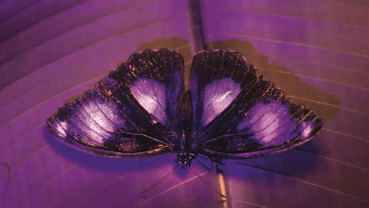 """Blue-moon butterfly shot with UV camera in """"Life in Color with David Attenborough."""" Cr: BBC/Netflix"""
