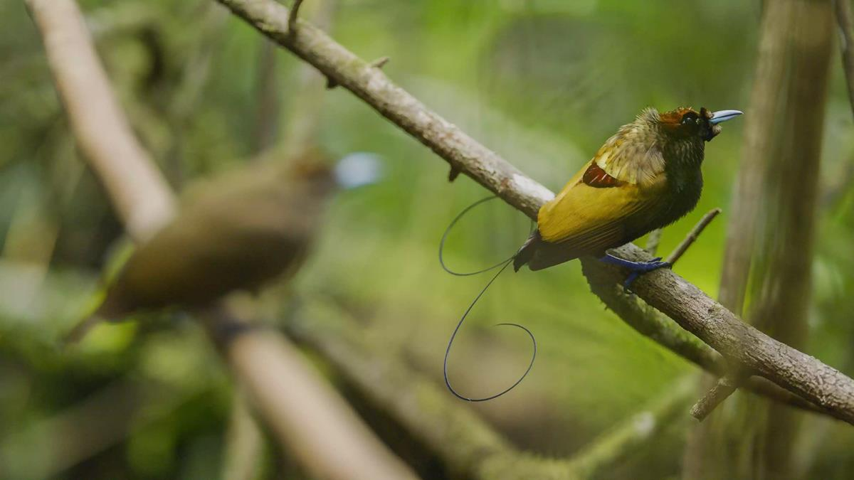 """Magnificent bird-of-paradise in """"Life in Color with David Attenborough."""" Cr: BBC/Netflix"""