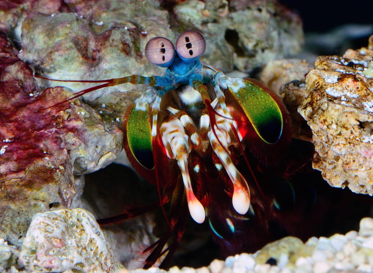 "Peacock Mantis shrimp in ""Life in Color with David Attenborough."" Cr: BBC/Netflix"