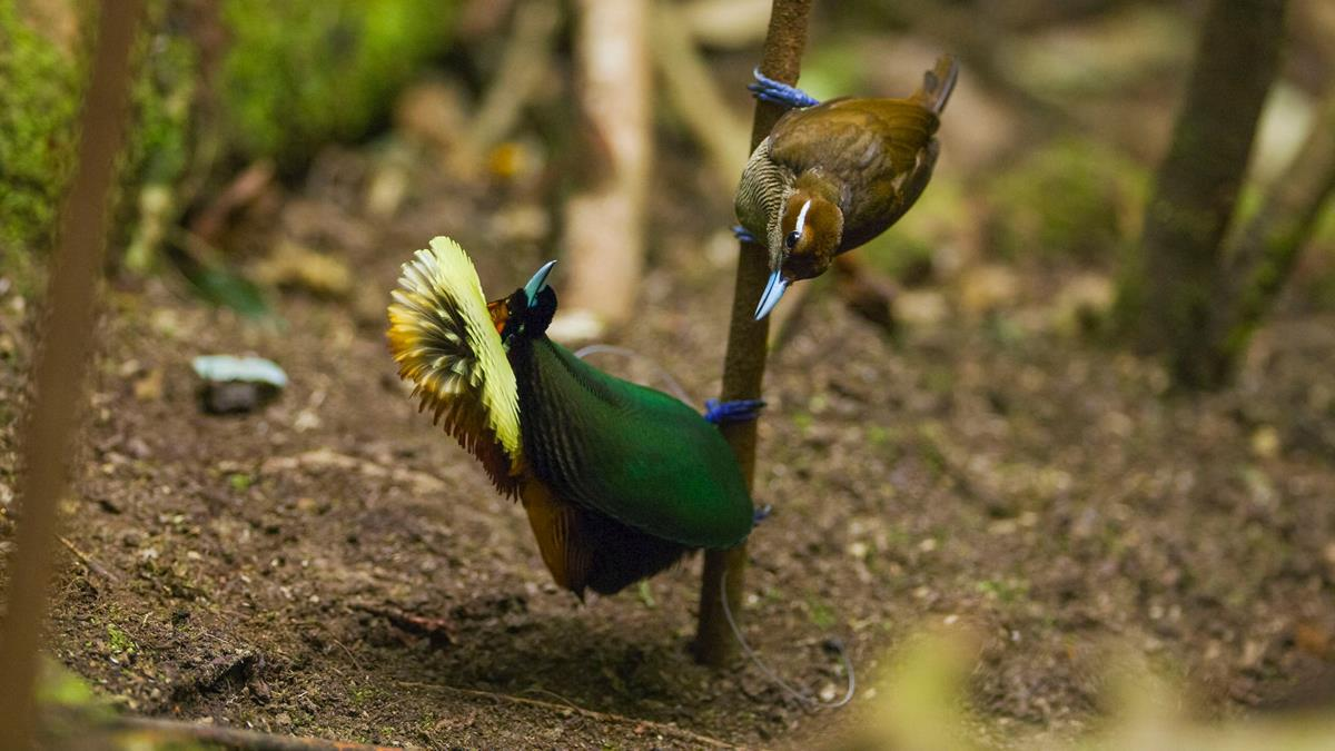 """Magnificent bird-of-paradise performing a mating dance in """"Life in Color with David Attenborough."""" Cr: BBC/Netflix"""