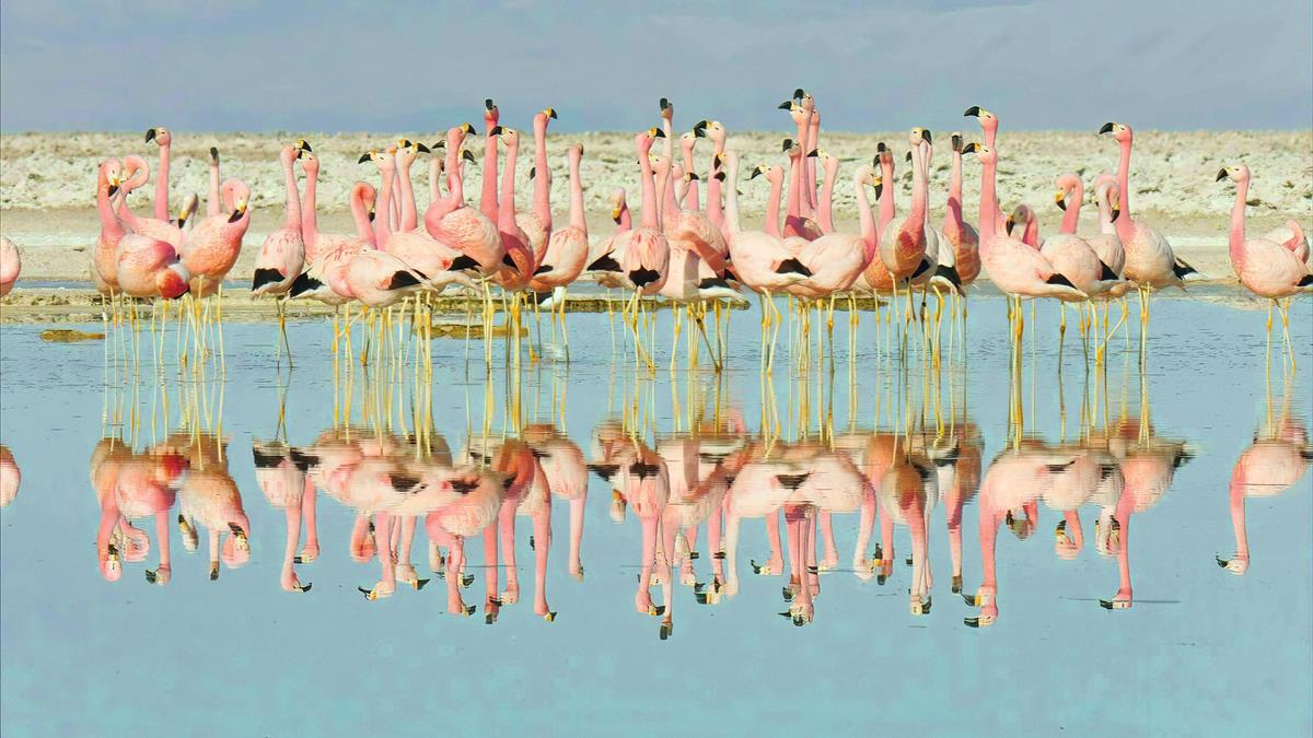 """Andean flamingos in """"Life in Color with David Attenborough."""" Cr: BBC/Netflix"""